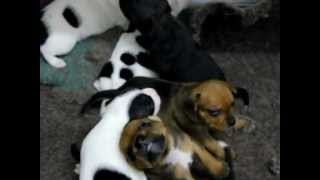 Chiots Staffordshire Bull Terrier / Staffie 2 Semaines - Elevage Of London Legends 06 Paca