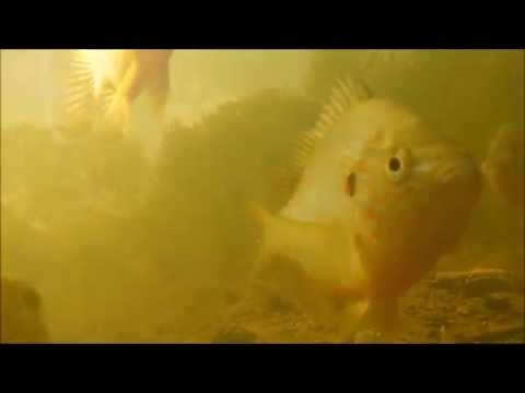 Shoal Of Pumpkinseed Fish (Lepomis Gibbosus) : The Lighter Side Of Underwater Videos