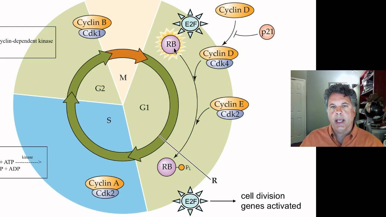 happy ultraviolet and mutated cell cycle The p57 cdki integrates stress signals into cell cycle  in contrast, p57-/- cells  were as resistant as wild type cells to uv as shown before we.