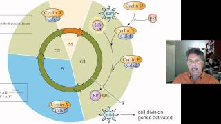 8.2.4 - The Cell Cycle and Cancer: Tumor Suppressor Genes