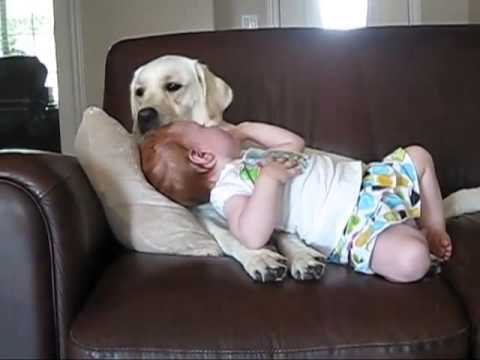 Labrador Dog Playing with Cute Baby