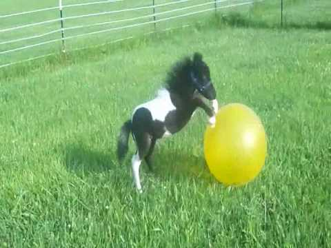 "Adorable ""Beau"", 2010 black and white Miniature Colt having fun with his ""ball"""