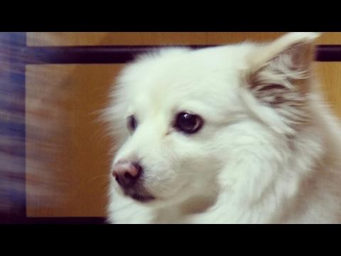Chasing a Crazy Dog! | German Spitz