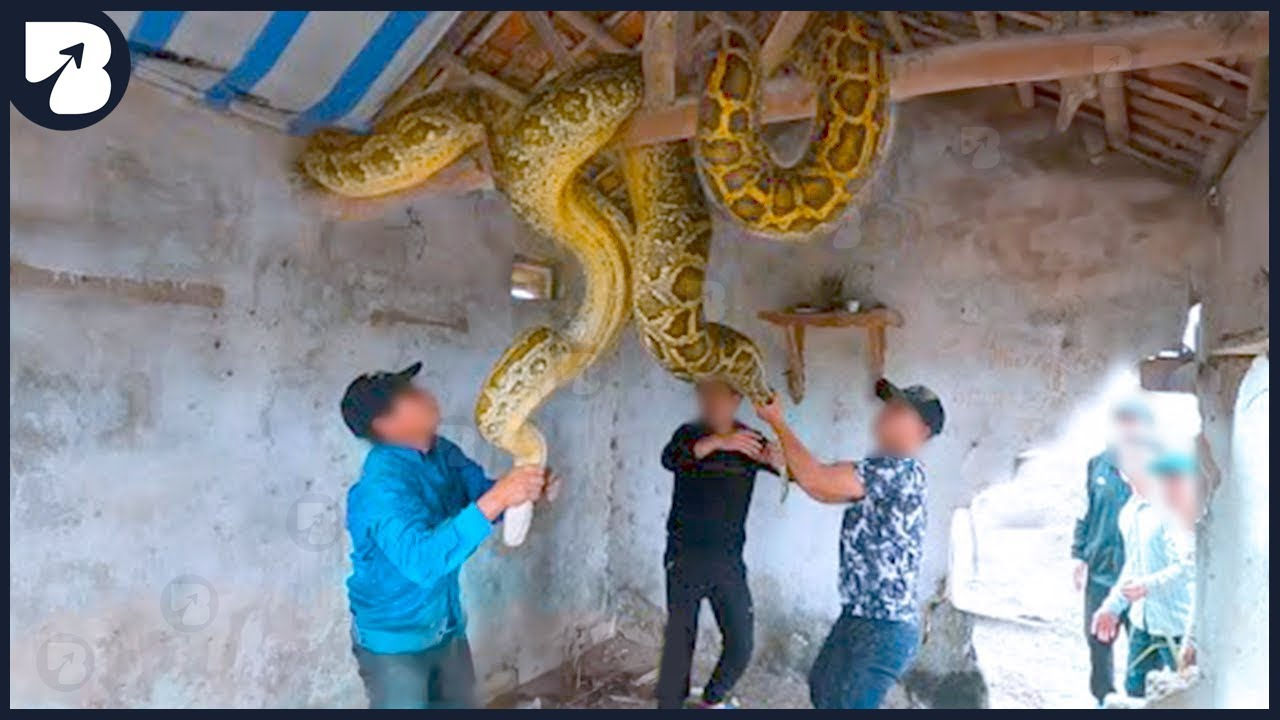 Download Biggest Snakes Ever Caught On Camera