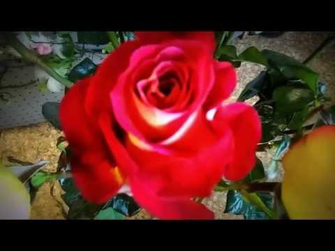 """Орхидея """"Фаленопсис"""" лимонная. Новоуральскиз YouTube · С высокой четкостью · Длительность: 2 мин7 с  · Просмотры: более 3.000 · отправлено: 16.10.2012 · кем отправлено: нескучный сад новоуральск"""