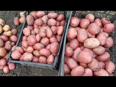 Засухоустойчивый,урожайный и очень вкусный сорт картофеля.
