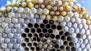yellow-jackets-huge-nest-infestation-wasp-sting-asmr