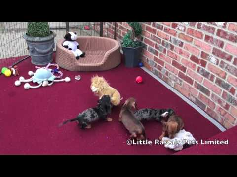 Miniature Dachshund puppies for sale at little Rascals