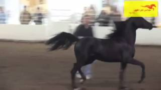 استعراض حصان ادهم - شيلة