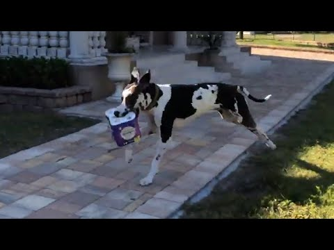 Great Dane loves delivering groceries to the house