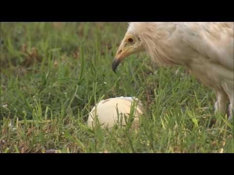 Super Smart Vulture Using Tools