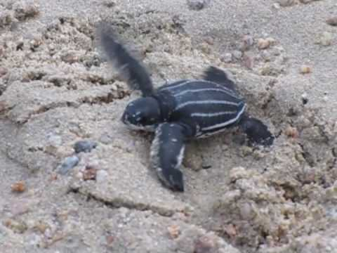 Baby leatherback turtle hatchlings make their way to the sea.