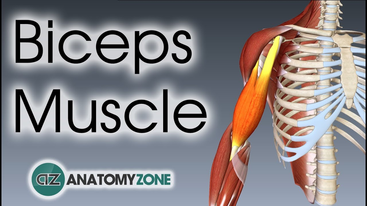 Biceps Brachii | Muscle Anatomy - YouTube
