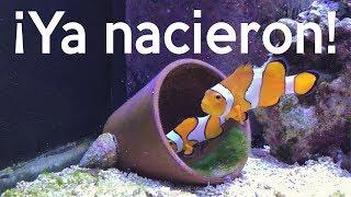 Reproducción de peces payaso - ¡Ya nacieron!   AcuaTV