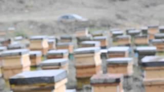 iran bees 316