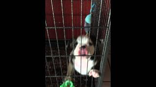 Akc English Bulldog Available. Pick Pup Off Oakland X Beautox's