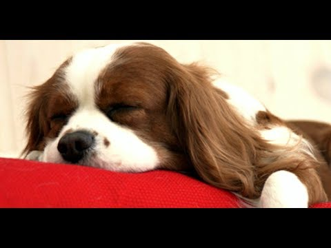 Top 10 Calmest Dog Breeds - Gentle and Easy Going Dogs