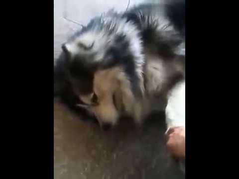 Cute husky dog cry after being scolded