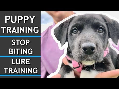 puppy-training!-stop-biting-and-lure-training
