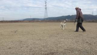フィールド系ラブラドールレトリーバーの子犬です。フリスビーの練習し...