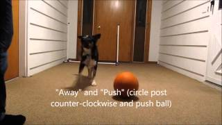 Border Collie Pup Performs 20+ Clicker-trained Tricks
