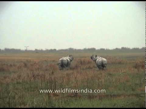 Rhino running infront of our jeep at Kaziranga National Park