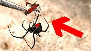 Deadly redback spider fishing spiders on garbage bins crazy ants crazy flies