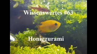 Wissenswertes #63 über den Honiggurami