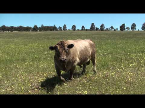 Banjo the bull ready to charge