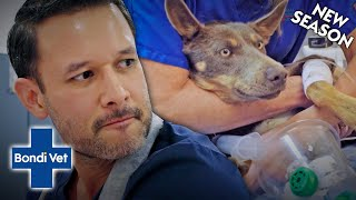 Vet Does A Blood Transfusion After A Dog Experiences Internal Bleeding! | Full Episode | Bondi Vet