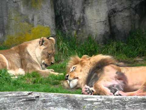 San Francisco Zoo Big Cat Feeding
