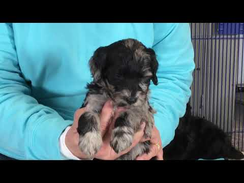 Glory's schnoodle puppies 11-8-18  Five weeks old