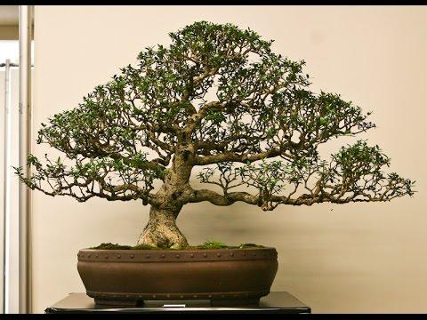 Olea europaea olive bonsai tree youtube for How to make an olive tree into a bonsai