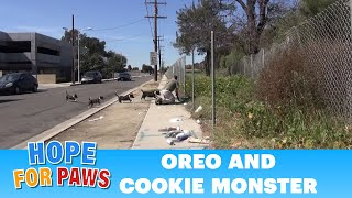 OMG!  Oreo races to protect Cookie Monster.  Now both are looking for a home.  Please share.