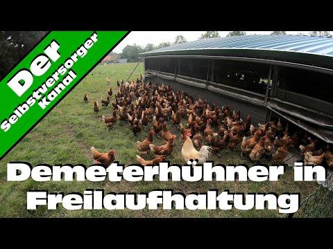 So leben Demeterhühner in Freilaufhaltung