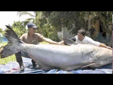 i pesci di fiume pi grandi del mondo youtube