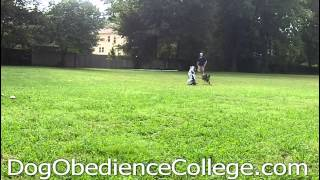 Dog Training Memphis | Tucker Obedience Video