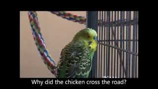 Why DID the Chicken Cross the Road, Disco?