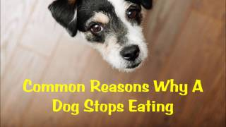 Common Reasons Why A Dog Stops Eating