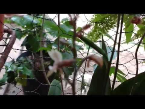 Orquídea terrestre oeceoclades maculata