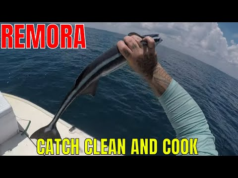 REMORA ( SHARK SUCKER ) CATCH CLEAN AND COOK
