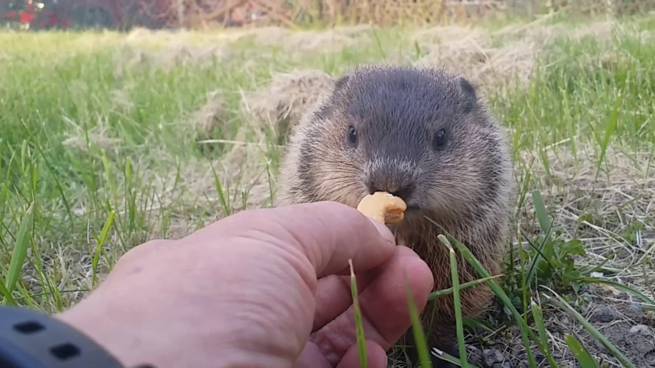 Download Cute baby Groundhog eats food from man's hand.