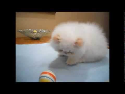 Himalayan Cat Breed together with PERHIMArticle 1999 moreover Flame Point Siamese Cat further Himalayan Kitten Gallery likewise 330170216401211686. on persian himalayan blue point