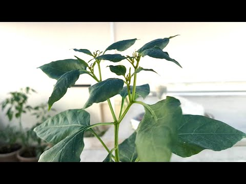Symptoms Of Spider Mites Prevention Control All Harmful Insects