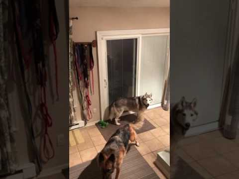 Stubborn husky's hilarious rant after being told no