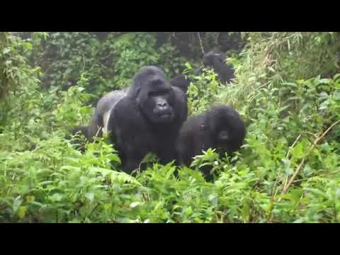 Download ubwiza bw' ingagi zo mubirunga by' u Rwanda!!!!!! mountain gorillas in Volcanoes National Park