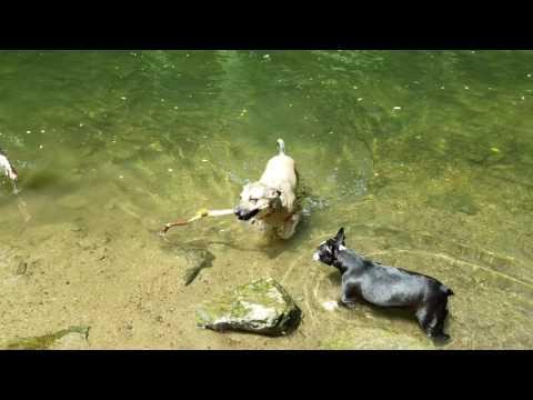 German Shepherd Swimming - Dog Swimming and Retrieving Stick - Cute German Shepherd Swiming