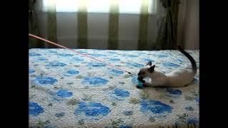 Тайский котенок играет с дразнилкой! Тайские кошки - это чудо! Funny Cats