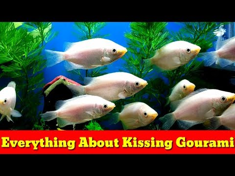 Everything About Kissing Gourami