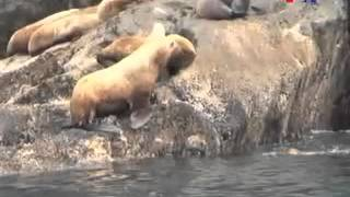 Steller Sea Lions - Abdul Aziz Khan - Urdu VOA